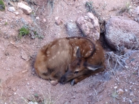 Baby Elk on Trail