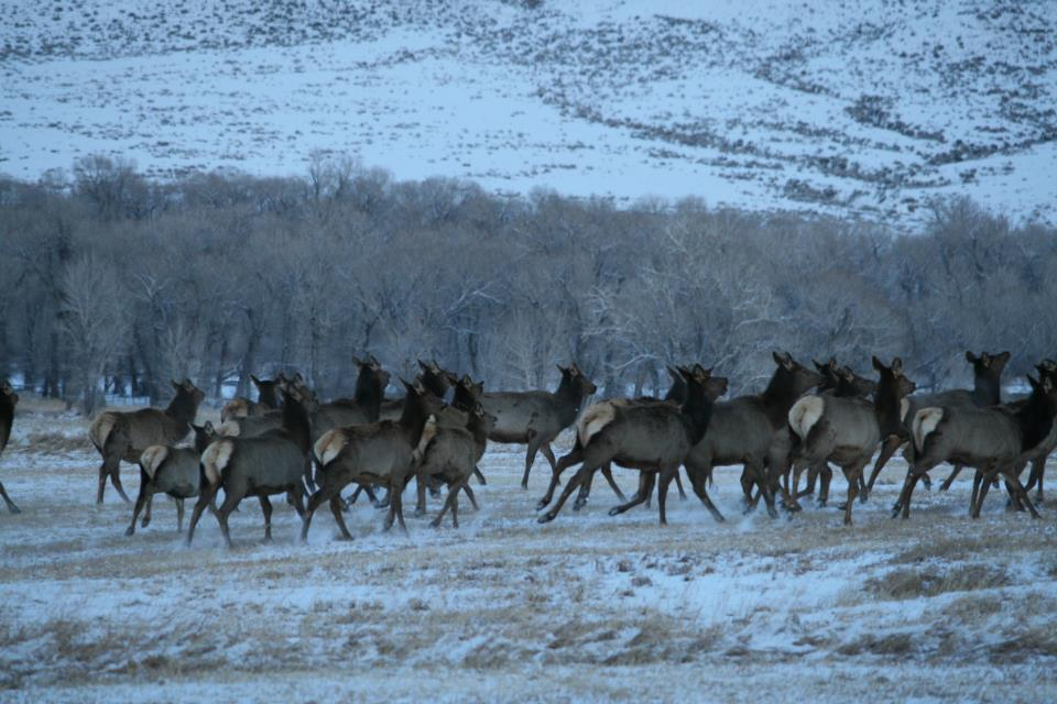 Wall of Elk