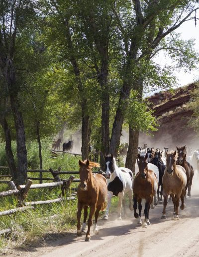 Horses Running Out to Pasture with buck and rail fence on one side and red rock cliffs on the other - Lazy L&B Guest Ranch Wyoming