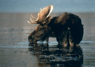 Bull Moose in Pond Drinking Teton National Park - Lazy L&B Dude Ranch Wyoming