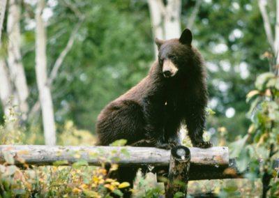 Black Bear Climbing Fence Grand Teton National Park - Lazy L&B Dude Ranch Wyoming