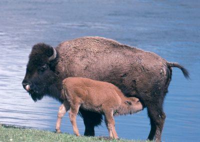 Bison Calf Nursing Grand Teton National Park - Lazy L&B Dude Ranch Wyoming