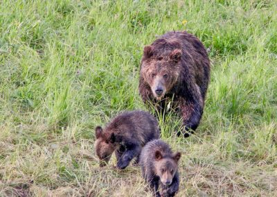 Grizzly sow and cubs in Hayden Valley Yellowstone National Park - Lazy L&B Guest Ranch Wyoming